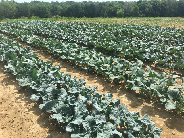 Thriving broccoli in Maine Quality trial plots.