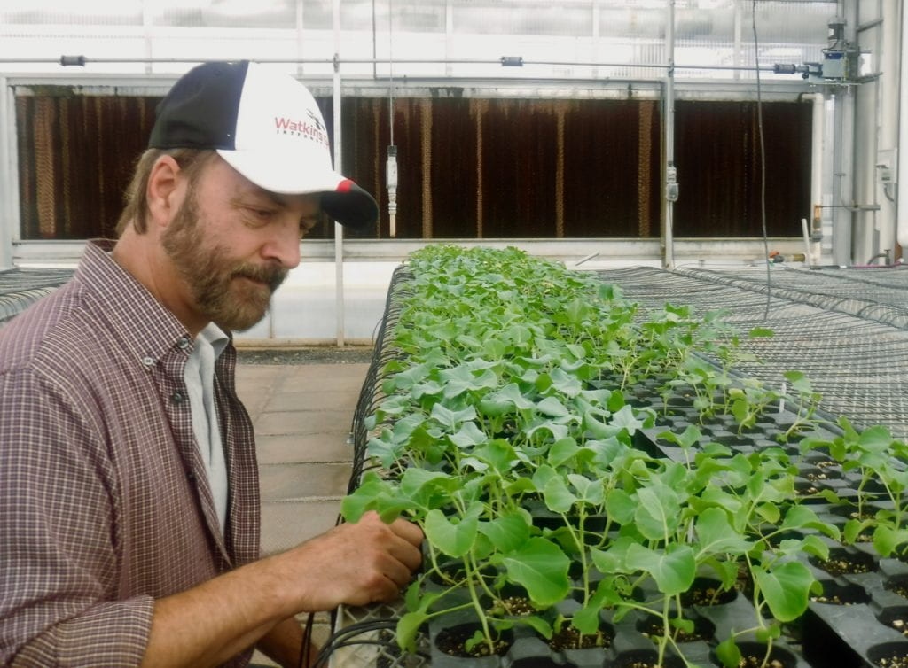 A man is looking at seedlings in greenhouse trays. They are at the four-leaf stage in mid-October 2019.
