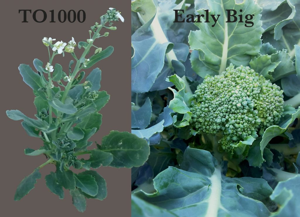 To1000 is a small plant with long inflorescences, Early Big is a normal broccoli