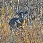 Buck in the Brush_200x200 for FB