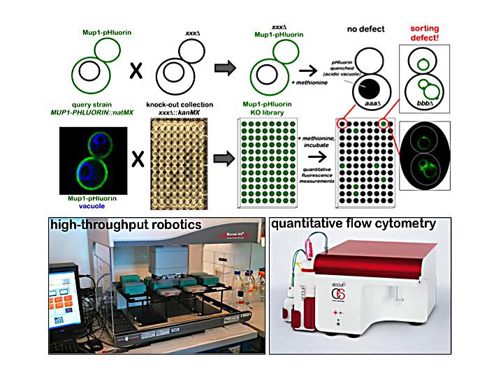 novel endosomal sorting factors