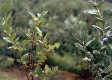 Two blueberry plants. Plant on left has yellow-green leaves throughout, plant on right has dark blue-green leaves.