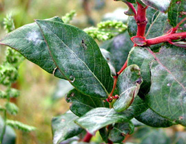 Blueberry leaf surface with semi-transparent white-gray patches. Patches most prominent along veins.