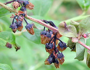 Blueberry blossoms with wilted appearance. Flower calyxes are purple-blue and blossoms are wrinkled and salmon tinted.