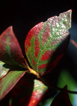 Blueberry leaf with blood red streaking in zebra pattern along entire leaf. Central and main veins are yellow and bordered by green tissue.