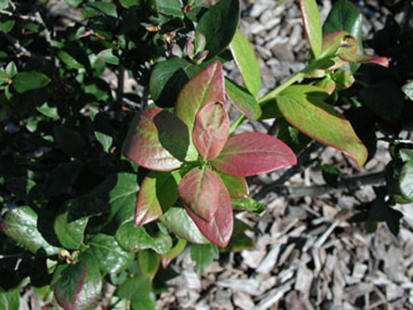 Blueberries Leaves Are Unusually Colored Spotted Or Necrotic Browning