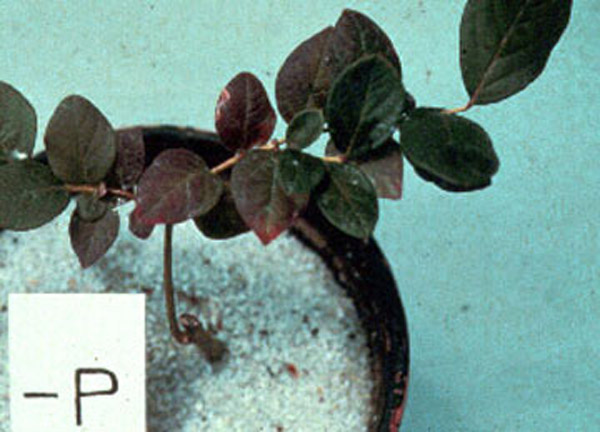 """Blueberry plant in pot of sand. Plant is short and has deep purple tinged leaves. Text on image says """"minus P"""""""