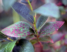 Blueberry leaf with circular purple-red spots on leaf surface. Some spots are merged to form blobby red areas.