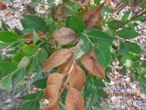 Blueberry bush viewed from above. Individual branches are entirely brown and leathery, while other branches are entirely healthy and green.