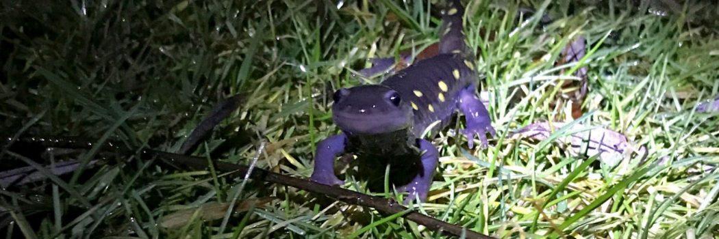 Spotted Salamander Migration