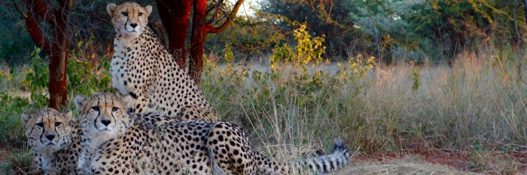 The Cheetah Chronicles: An Introduction