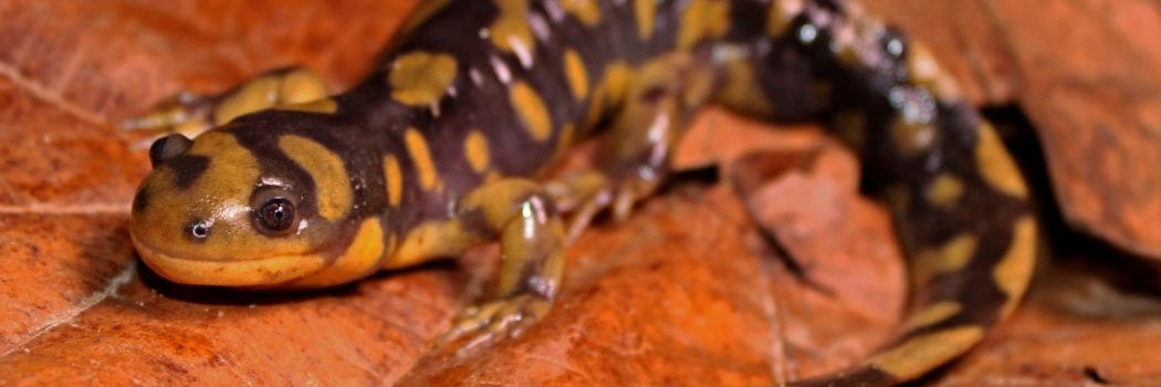 Salamander Genetics: Conservation Research on a Molecular Level