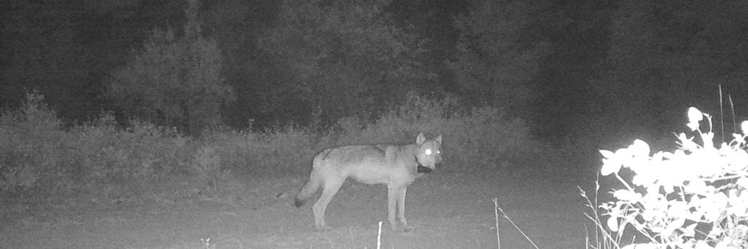 Lessons from Wolf Tracking in the Pacific Northwest