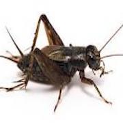World of Crickets Thumbnail