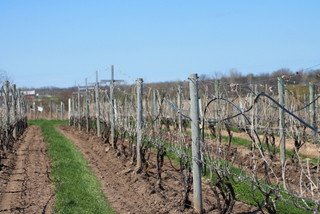 Recently 'de-hilled' vineyard at NY Agricultural Experiment Station, Geneva, NY on May 6, 2014