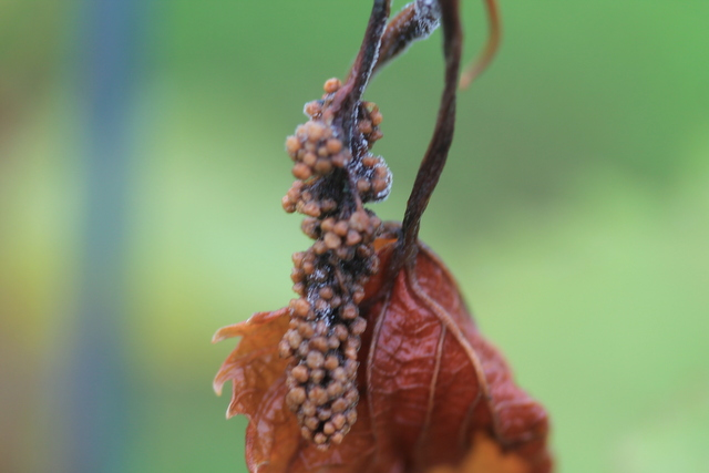 Botrytis frozen shoot