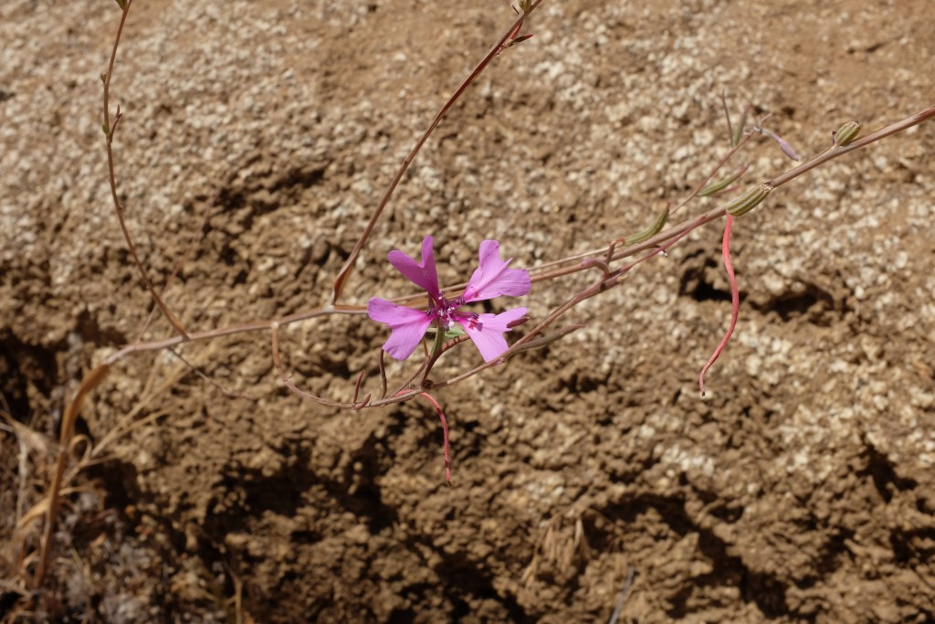 A Clarkia xantiana plant with one open flower and several fruits (to the right of the flower). Some fruits have been chewed, likely by grasshoppers or caterpillars. Photo credit: Ian Hunter