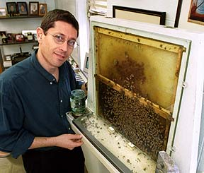 UI professor Gene Robinson stands next to a glass wall observation hive in his office at Morrill Hall (U.) on Tuesday October 23, 2001. Robinson uses the hive to study behavioral analysis of the honey bees that live in it. The bees are free to come and go through a plastic tube to the outside of his 4th floor office window. News-Gazette photo by John Dixon