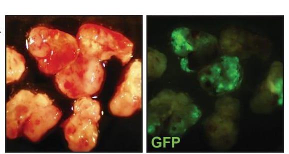 OCT4-GFP-1b6chvm