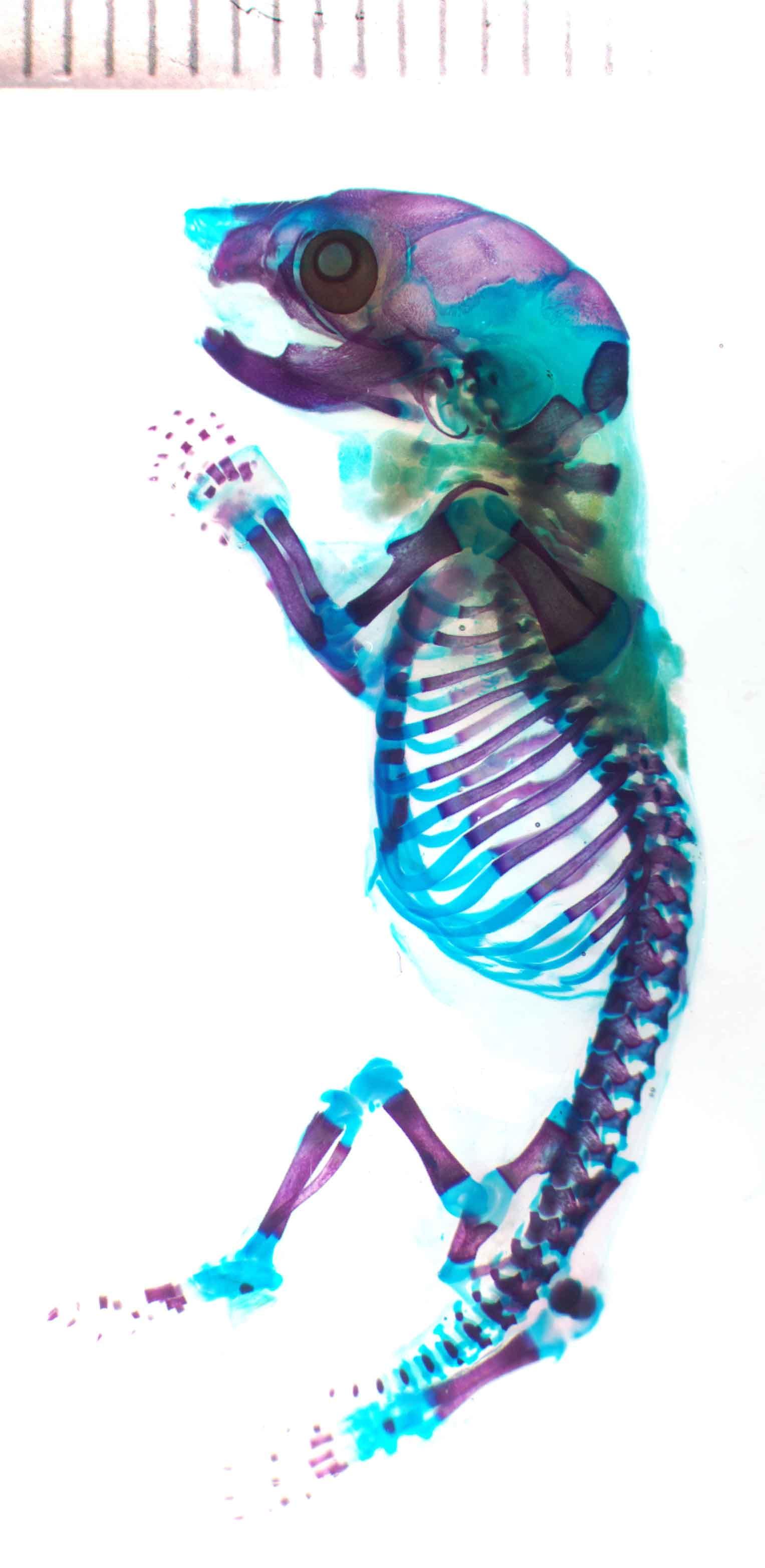 skeleton-1kr1583