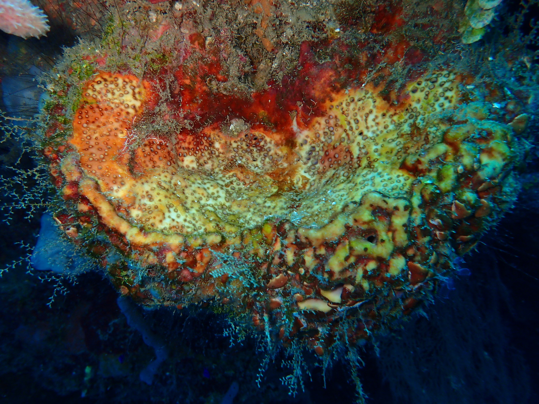 Photo of colorful coral, by Vera Gaddi, submitted for the CIHF photo competition
