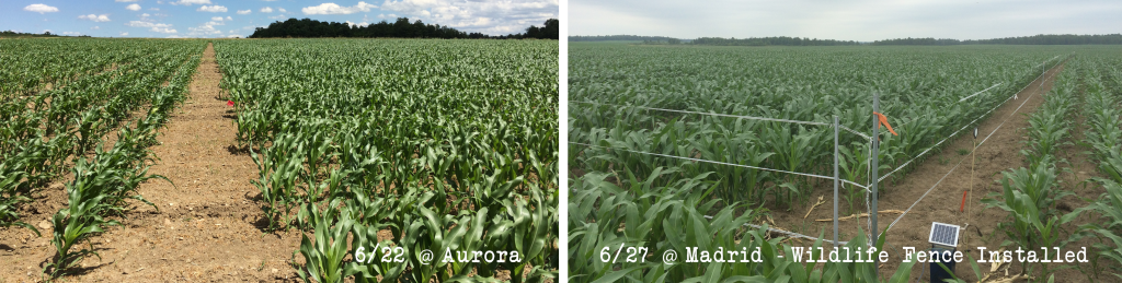Corn Silage Plots 2016 - June update
