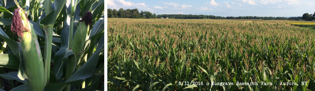 Corn Silage Plot Early Aug 2016