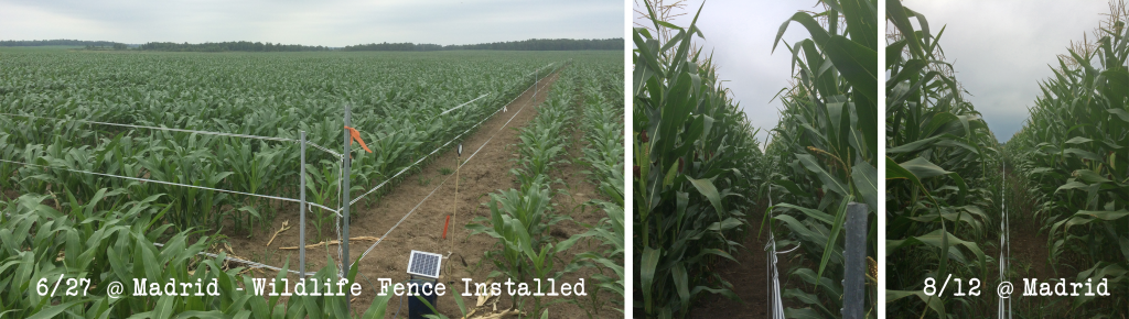 Corn Silage Plots 2016 - Madrid mid-Aug update