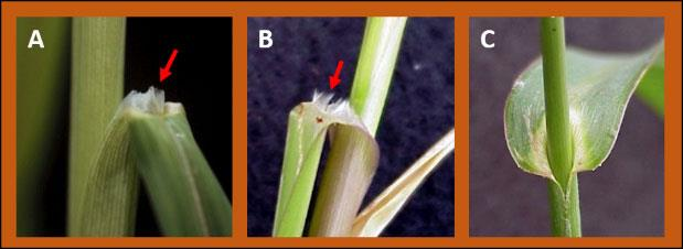 The ligules on Johnsongrass leaves (A) are membranous, while the ligules on Fall Panicum leaves (B) are a fringe of hairs. Barnyardgrass (C) lacks ligules.