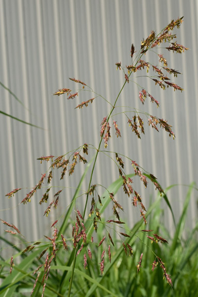 Johnsongrass seedheads 2