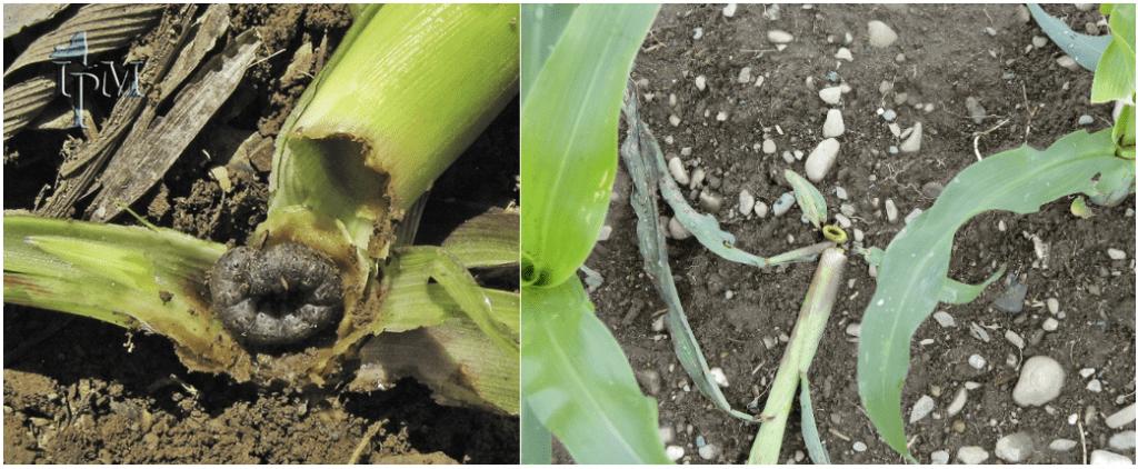 Black cutworm larva and damage