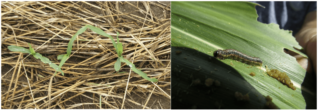 True armyworm damage and larva with frass.