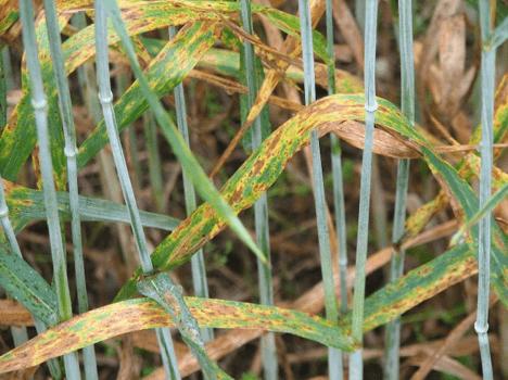 Stagonospora leaf blotch of weat