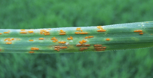 Wheat leaf rust