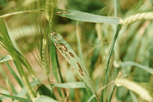 Scald on malting barley