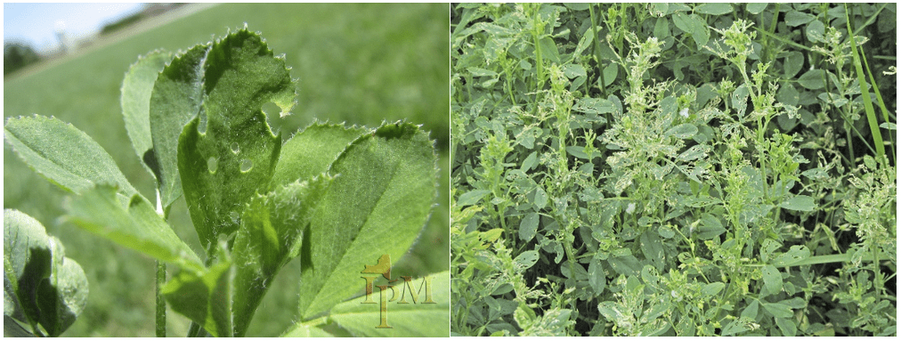 Alfalfa weevil leaf symptoms