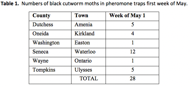 Numbers of black cutworm moths in pheromone traps in the first week of May
