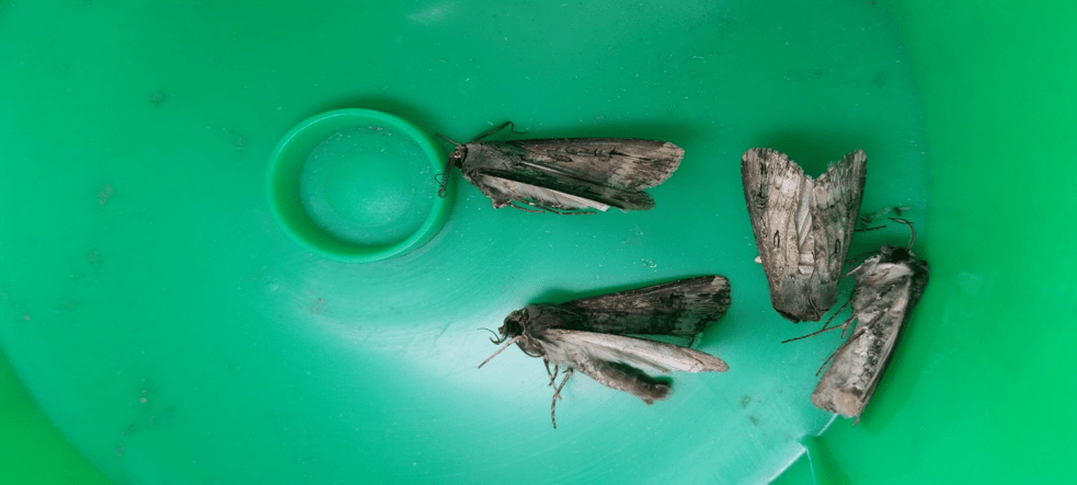 Black cutworm moths in a pheromone trap