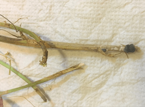 Figure 1.  Bleached stems with sclerotia on alfalfa.