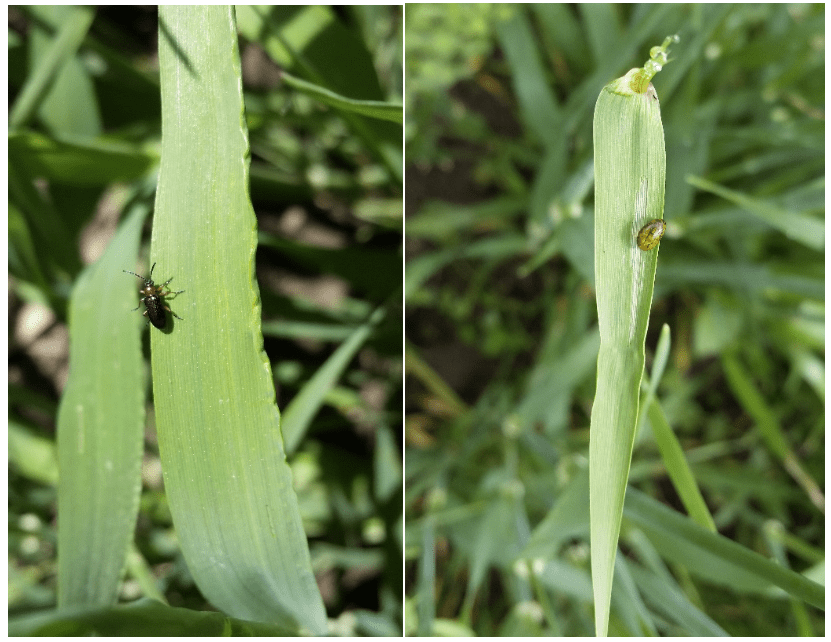 Cereal leaf beetle adult and larval stages