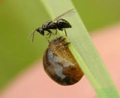 parasitic wasp on a cereal leaf beetle larva