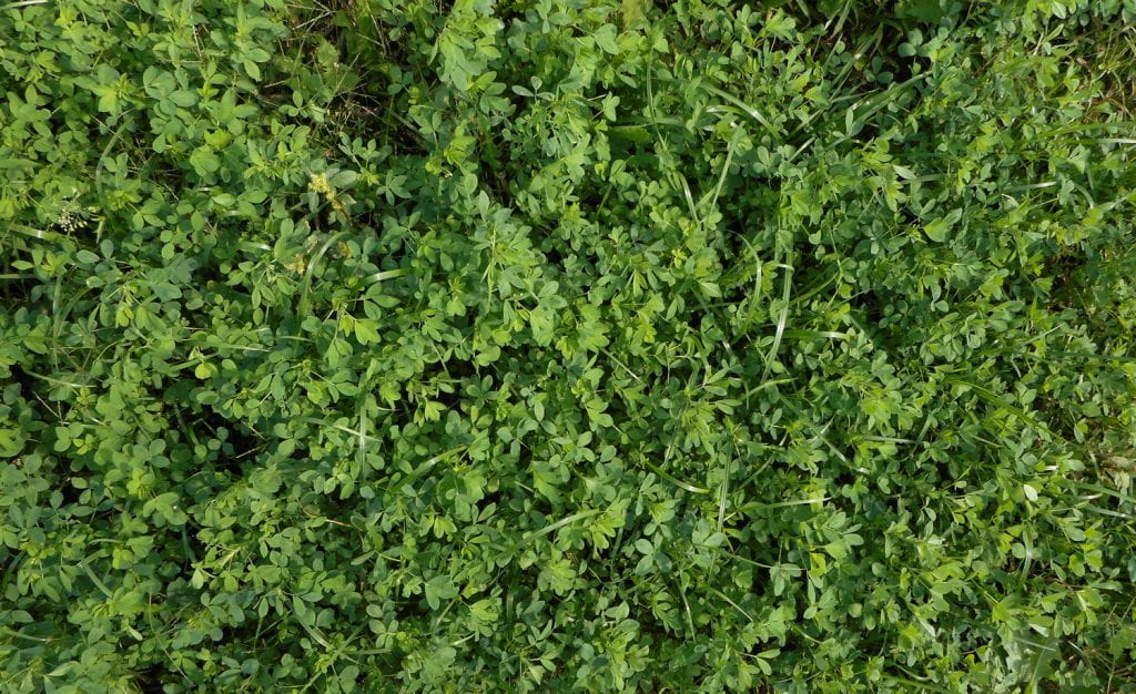 Alfalfa-grass mixture trial