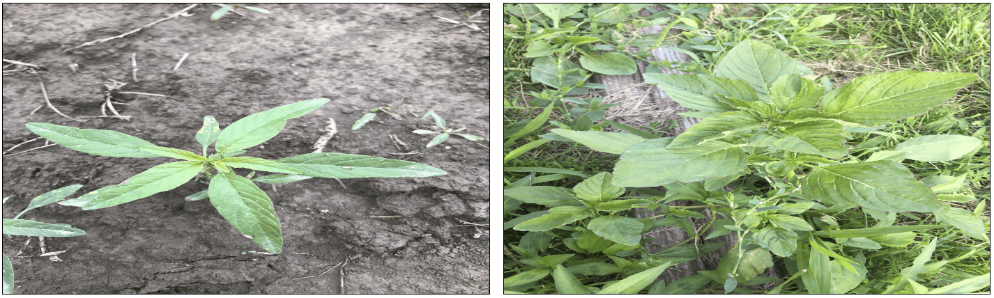 Figure 5: Tall Waterhemp (left) vs. Smooth Pigweed