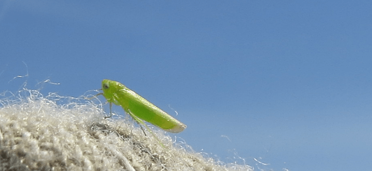 Potato Leafhopper Adult