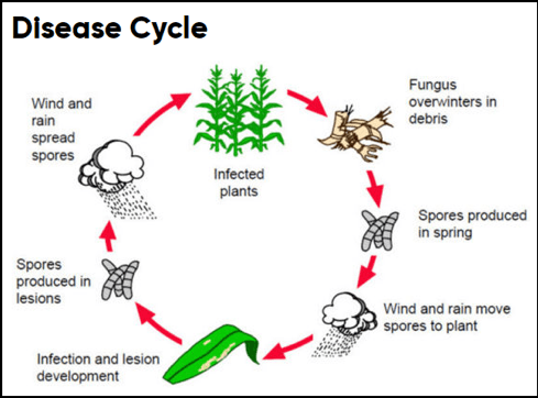 Diagram of the disease life cycle of corn foliar pathogen