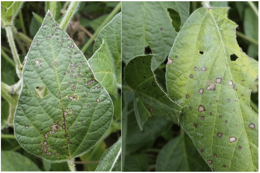 Frogeye leaf spot foliar lesions on soybean leaves