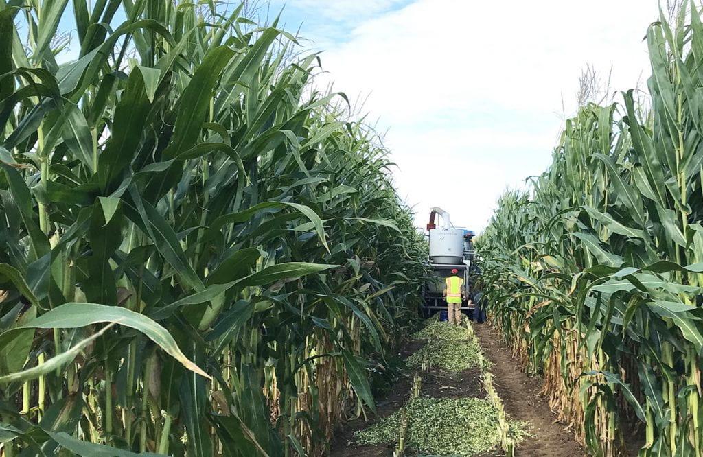 Man walking behind harvester in corn field