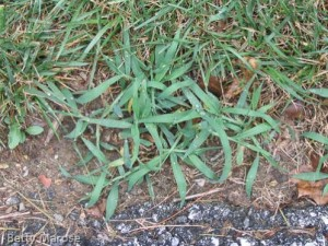 Large crabgrass, Digitaria sanguinalis