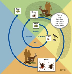 Deer Tick Lifecycle