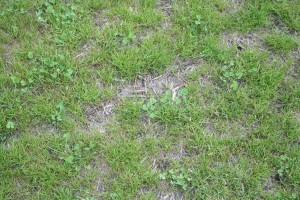 Straw laid down to protect seeds and seedlings can eventually be detrimental to turf health.